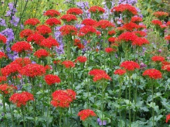 Многолетний лихнис: красные звезды в саду