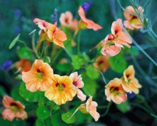 Настурция в саду: красота без проблем