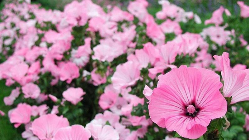 Однолетние цветы, которые превратят ваш сад в Эдем