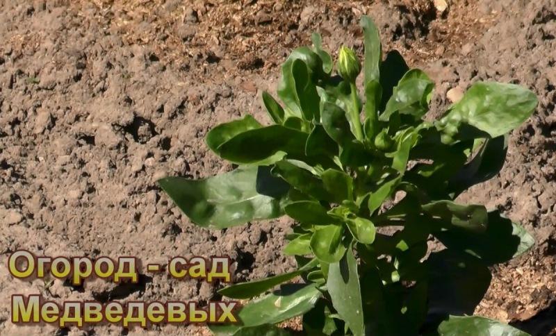 Остеоспермум: выращивание от посева до цветения
