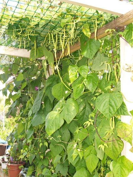 Растительный белок на грядке: подсказки начинающим
