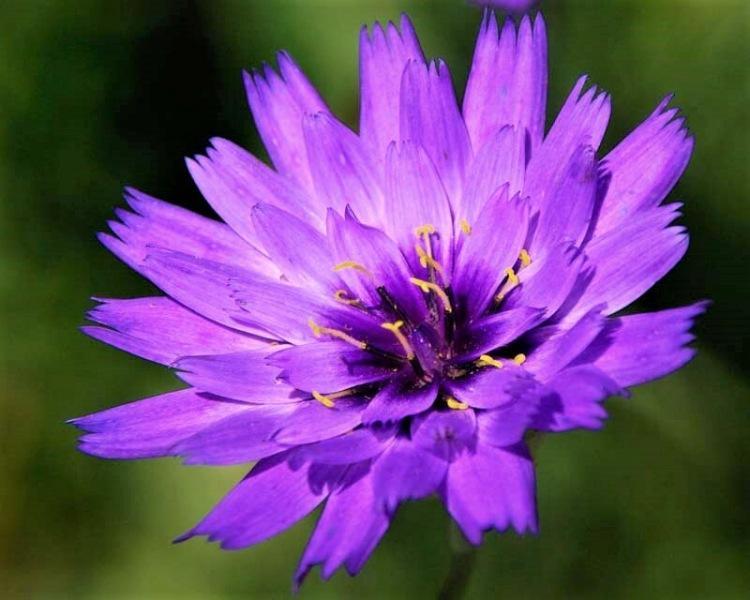 Редкие красивые садовые цветы: катананхе – цветок небесного цвета