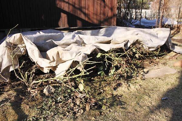 Розы после зимы: тонкости ухода