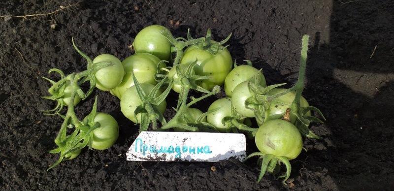 Самые худшие сорта томатов, мой личный список
