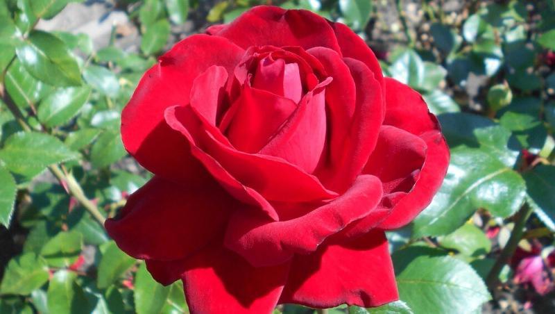 ТОП лучших сортов чайно-гибридных роз