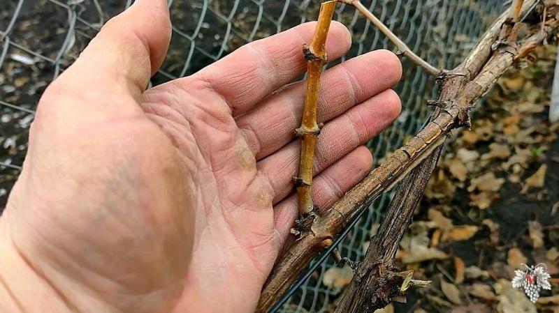 Весенняя обрезка винограда на Урожай!