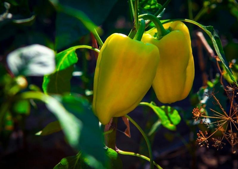Выращиваем рассаду перцев