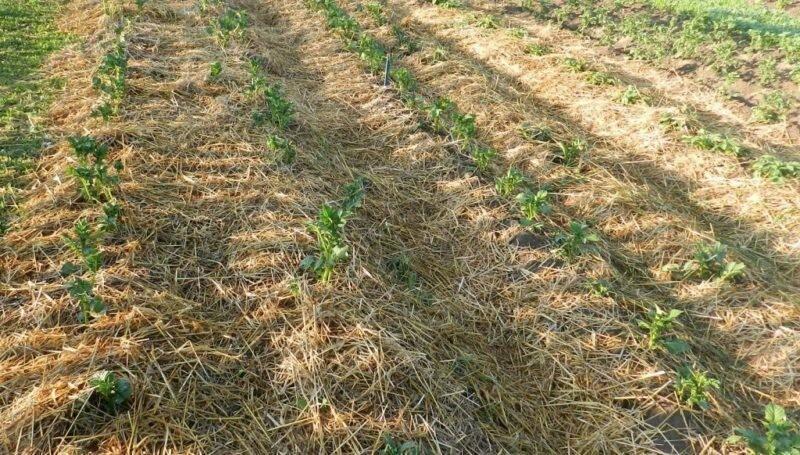Выращивание картофеля в соломе — методика ленивого огородника