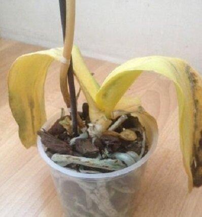 10 популярных способов загубить свою Орхидею