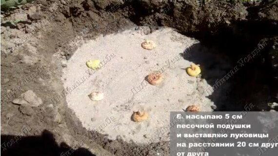 Цветение гладиолусов зависит от правильной посадки луковиц