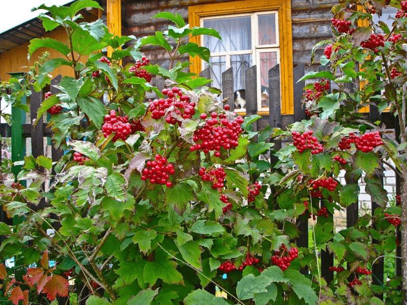 Декоративные кустарники, зимующие в Сибири