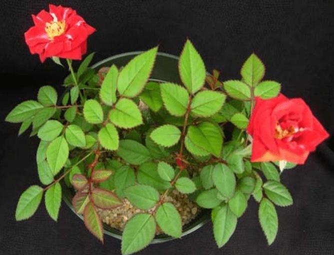 Как узнать чего не хватает розам? Визуальные признаки дефицита