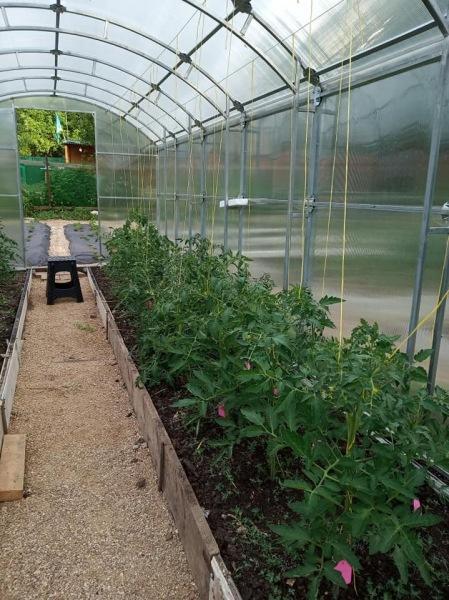 Когда сажать рассаду помидор в теплицу?