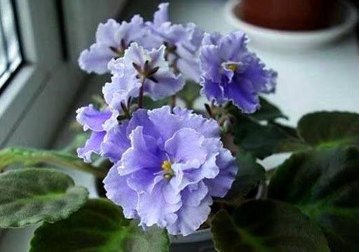 Кто виноват в том, что фиалки не цветут?