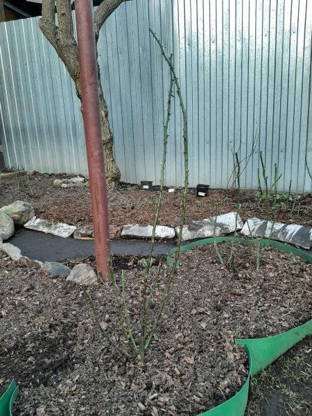 Мой сад онлайн. 11.04.21. Рыхление роз, посадки и о разном