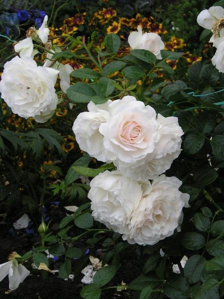 Плетистая роза Weisse Wolke - воздушная кружевная пена