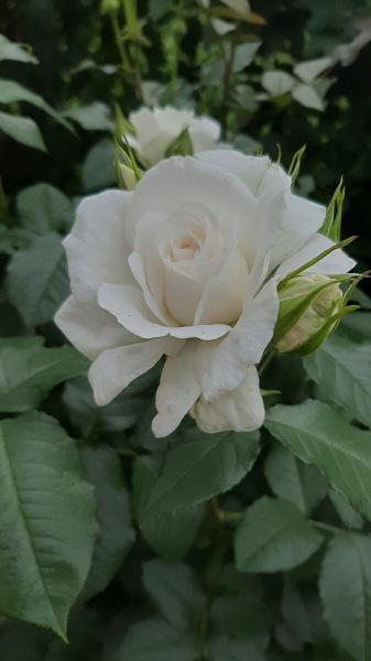 Посадка и пересадка роз.