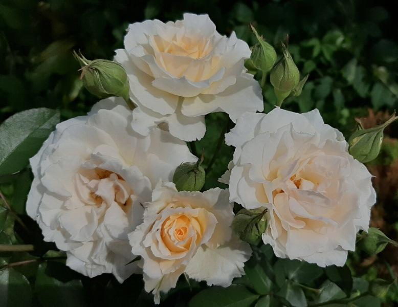 Шпаргалка по розам №5. Майские праздники 2021 г.