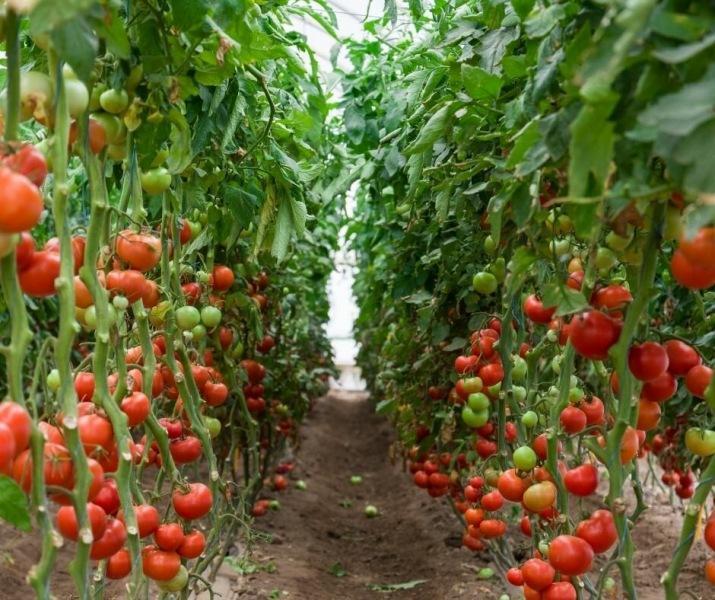 Выбираем семена томатов. На что обращаем внимание при выборе?