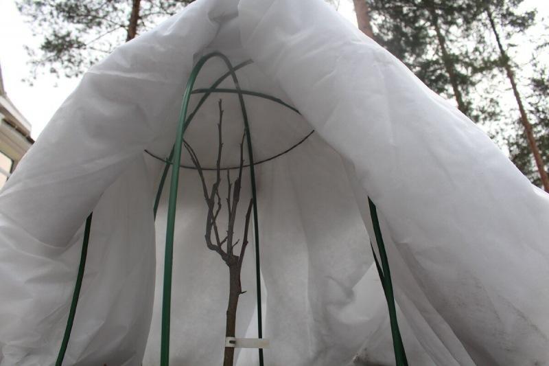 Зимовка магнолий в моем саду
