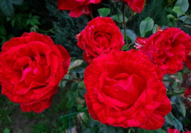 Шпаргалка по розам №6. 15 - 16 мая 2021 г.