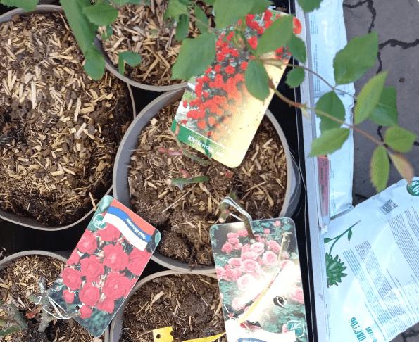 Заглубление прививки и корневой шейки у розы