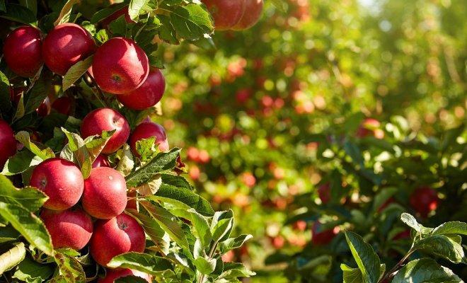 10 сортов яблонь, которые почти никогда не болеют