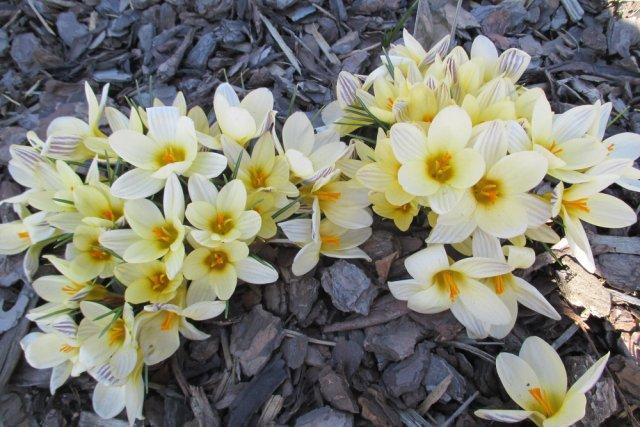 10 сортов крокусов, которые первыми принесут весну в ваш сад