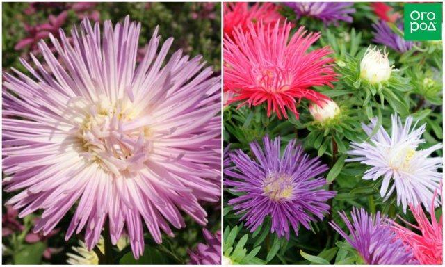 11 морозостойких однолетних цветов для вашего сада