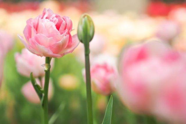 15 очаровательных сортов тюльпанов, которые нужно посадить этой осенью