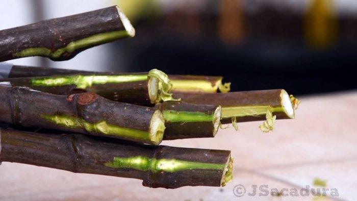 4 способа проращивания черенков. Какой лучший?