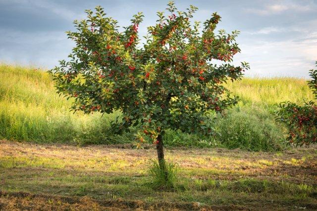 5 правил здоровой вишни: советы профессионала