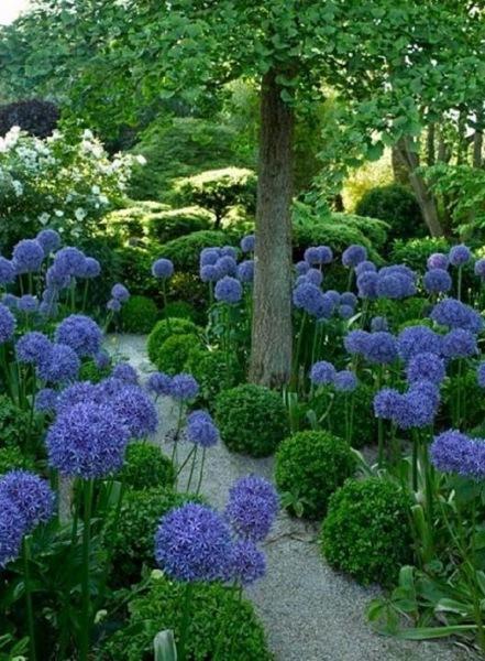 Аллиум, или декоративный лук, — идеальный цветок для наших широт. Участок преобразился!