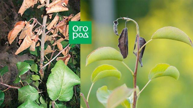 Бактериальный рак растений: проще предупредить, чем лечить