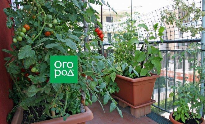 """Чем подкармливать огород на балконе, если органики нет, а """"химии"""" не хочется"""