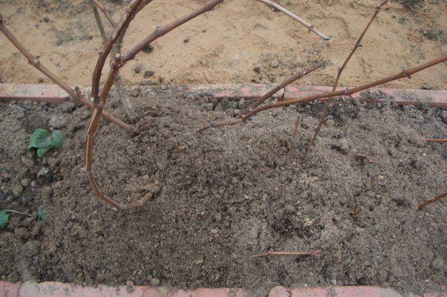 Чем подкармливать виноград осенью перед обрезкой и укрытием