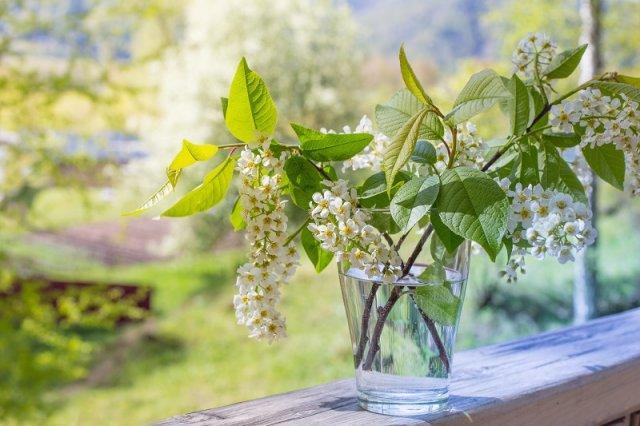 Черемуха на даче: сорта, выращивание и уход