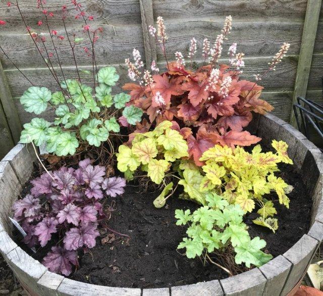 Гейгерелла: лучшие сорта, выращивание и уход