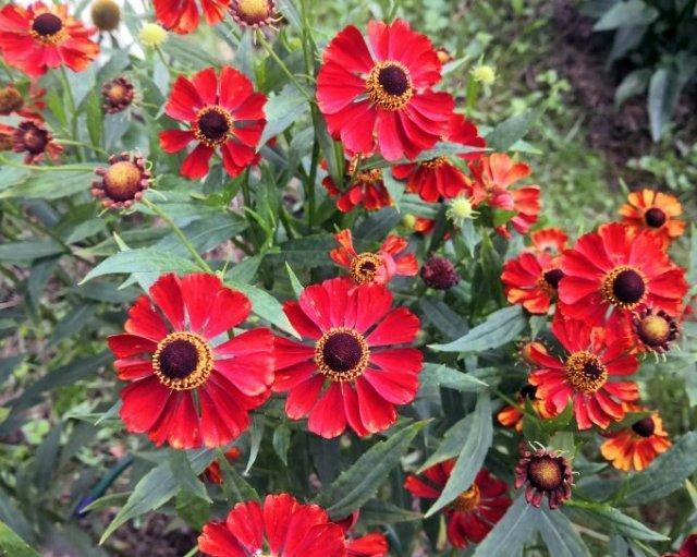 Гелен осенний: сорт, выращивание и размножение