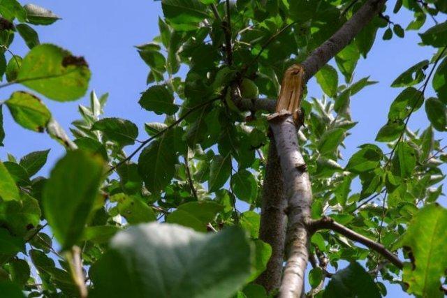 Как избавиться от лишнего ствола у яблони и груши