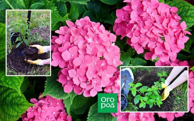 Как посадить гортензию осенью, чтобы растение хорошо прижилось