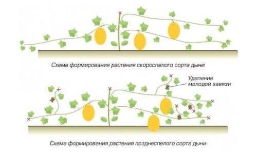Как растет дыня фото