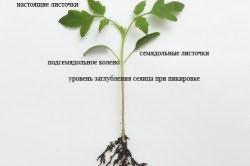Как садить рассаду в парник