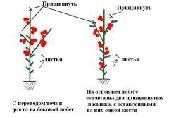 Как сажать рассаду в парник