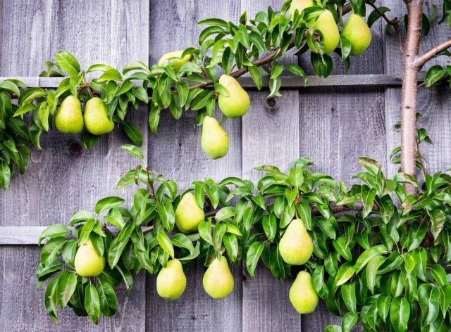Как вырастить дерево на шпалере: инструкция, фото, подходящие сорта