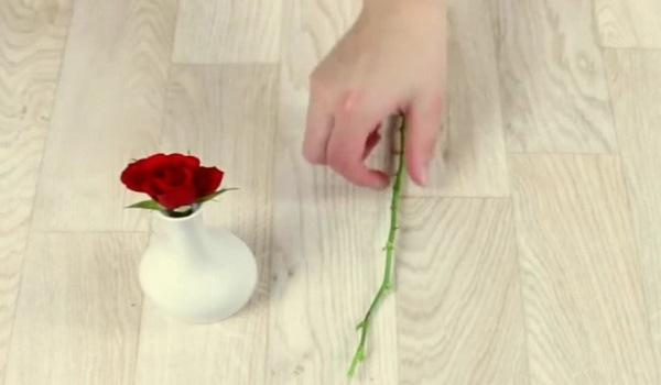 Как вырастить розу в картофеле