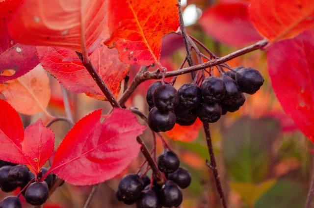 Какие ягодные кусты можно и нужно сажать осенью