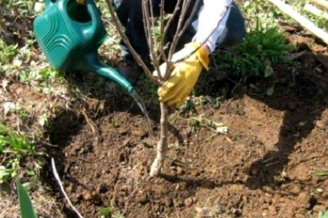 Какие фруктовые деревья сажать осенью