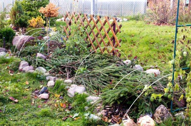 Когда и как заготавливать лапник для укрытия растений