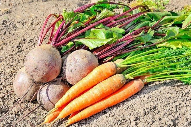 Когда выкапывать морковь и свеклу? Самые благоприятные дни сентября по лунному календарю